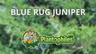 Blue Rug Juniper Care