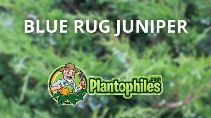 Blue Rug Juniper – The Complete Care Guide