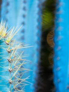 Blue Torch Cactus Care