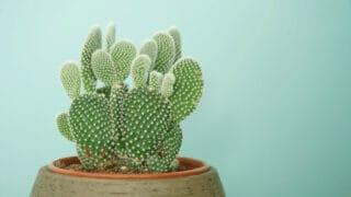 Bunny Ear Cactus Care