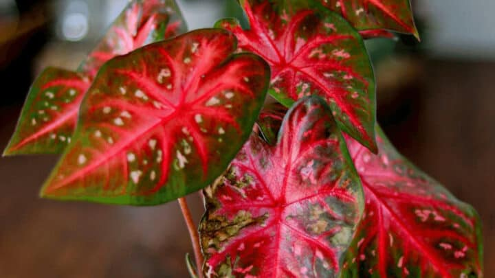 Caladium Red Flash Care – Detailed Out!