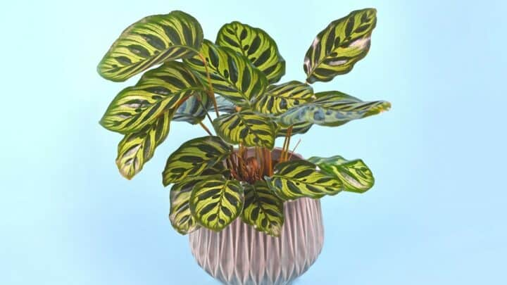 Calathea Makoyana Care Explained…Once and for All!