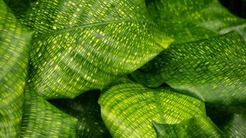 Calathea Musaica Care – Top Tips