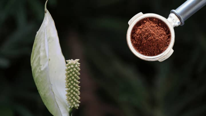 Coffee Grounds for Peace Lilies