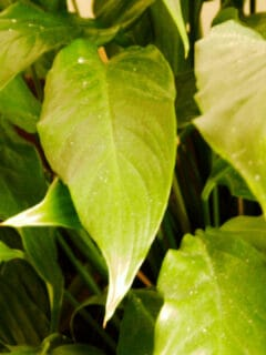 Crinkly Leaves on a Peace Lily