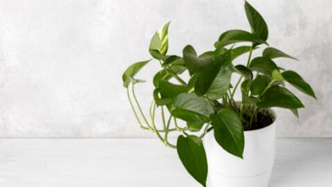 Do Houseplants Clean the Air – Unbelievable!