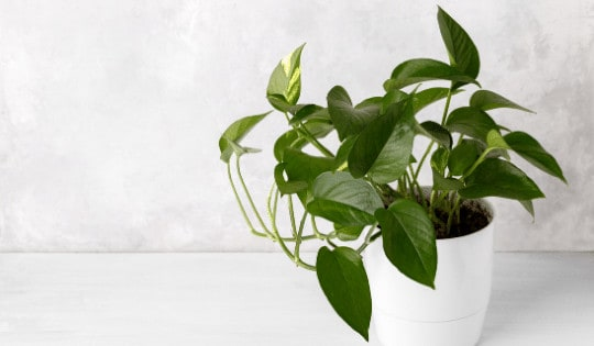 Do Houseplants Clean the Air