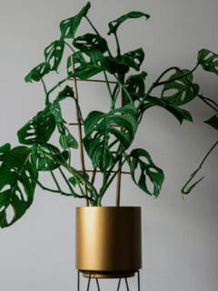 Does Monstera Adansonii Grow Fast