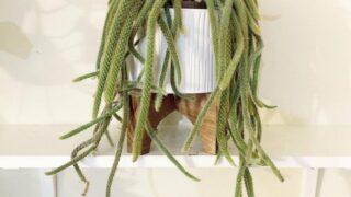Dogtail Cactus Care