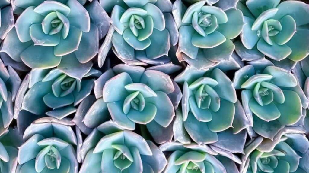 Echeveria Blue Prince