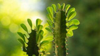 Euphorbia Trigona Care