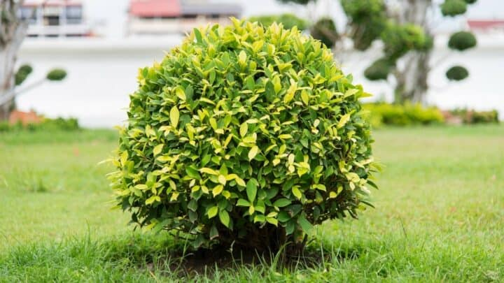 Ficus Altissima In-depth Care Guide