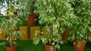 Ficus Benjamina Care