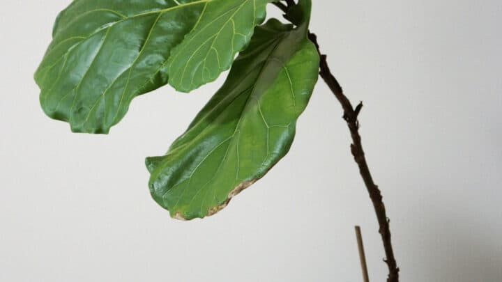 Why Fiddle Leaf Fig Has Brown Leaves & 4 Ways to Treat It