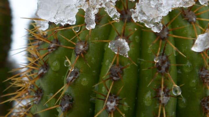 Golden Torch Cactus Care