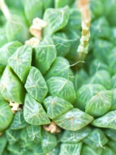 Haworthia Obtusa Care