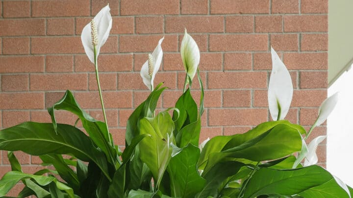 How Big Does a Peace Lily Get? The Answer!