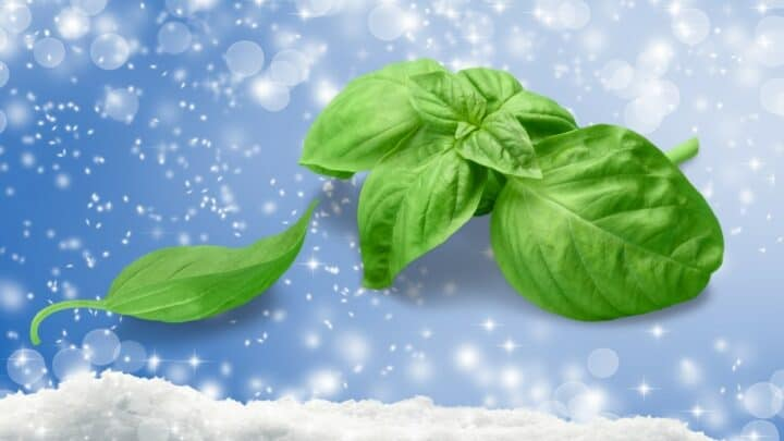 Basil and Cold Weather: Here's What You Need to Know!