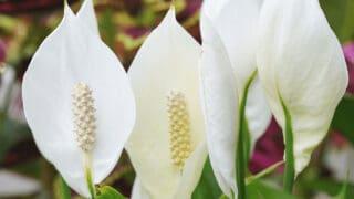 How Long Do Peace Lilies Last