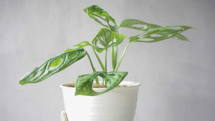 How Often Should I Water My Monstera Adansonii?