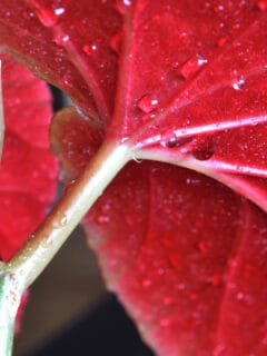 How Often Should You Water Begonias