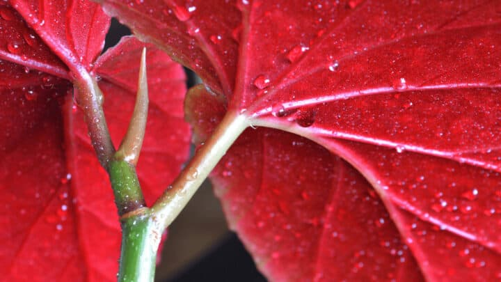 How Often Should You Water Begonias? It depends