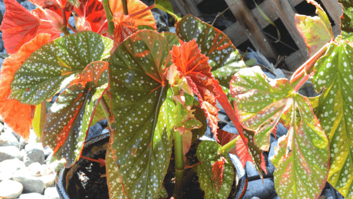 How To Keep Begonias Over Winter – My Recipe