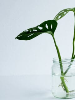 How to Propagate Monstera Adansonii