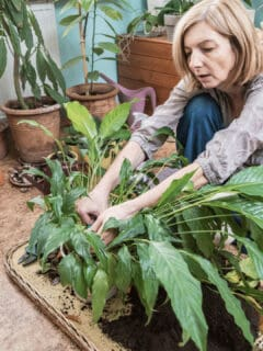 How to Propagate a Peace Lily