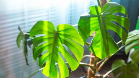 How to Train a Monstera Deliciosa on a Moss Pole