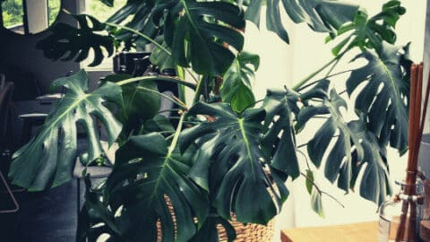 How to Water Monstera Deliciosa – Our Top Tips!