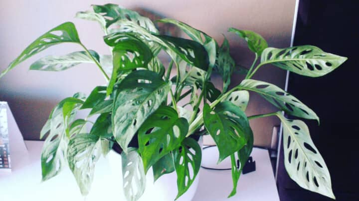 Is Monstera Adansonii Toxic? Read this!