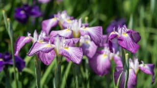 Japanese Iris (Iris ensata) Care