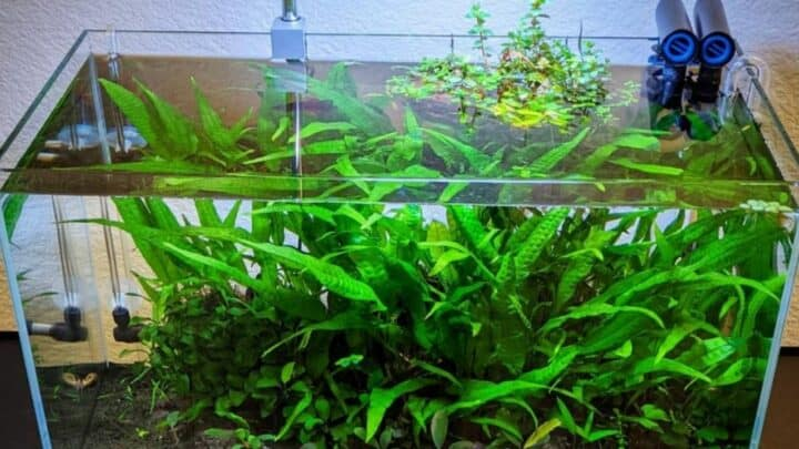 Why is my Java Fern turning brown? – Mystery SOLVED