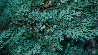 Juniperus scopulorum Blue Arrow Juniper