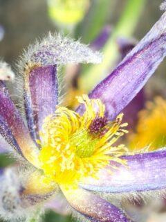 Lavender Wilting