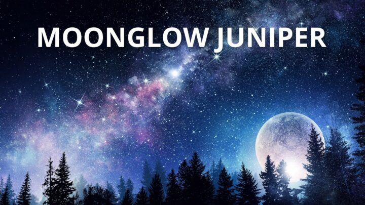 Juniperus Scopulorum 'Moonglow' Care – The Complete Guide