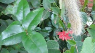 Monkey Tail Cactus Care