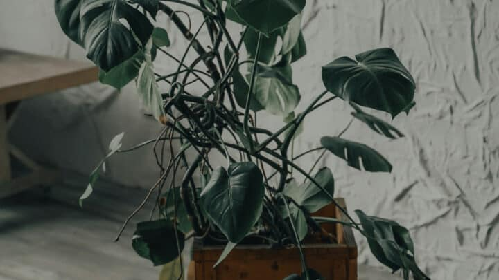 5 Reasons Why A Monstera Deliciosa Has A Brown Stem