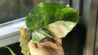 Monstera Deliciosa Has Brown Leaves