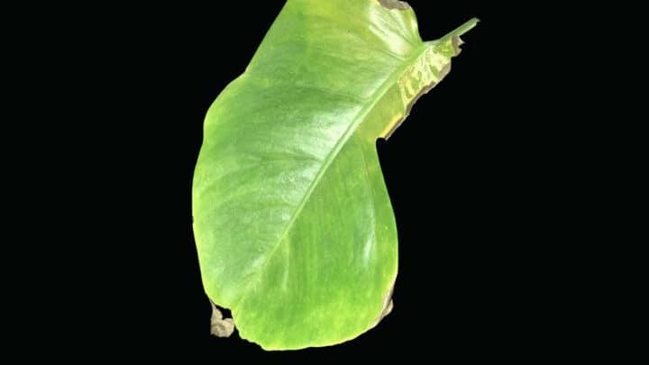 4 Reasons Why Monstera Deliciosa Has Brown Spots
