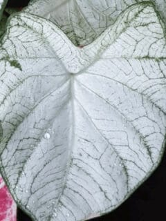 Moonlight Caladium Care