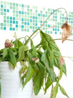 Peace Lily Dead Flowers