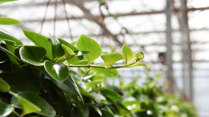 Here's How to Propagate Peperomias the Right Way!