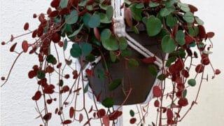 Peperomia Ruby Cascade Care