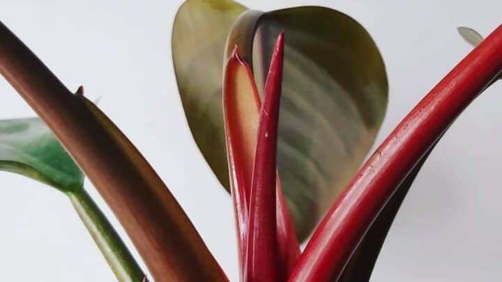 """Philodendron """"Imperial Red"""" – Complete Care Guide"""