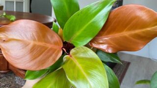 Philodendron Prince of Orange Updated