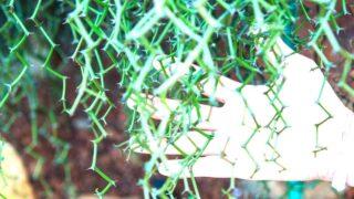 Rhipsalis Cereuscula (Coral Cactus)