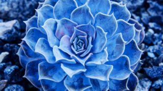 The Prettiest Blue Succulents