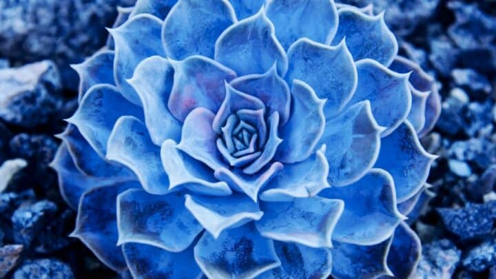 The 12 Prettiest Blue Succulents – Revealed!